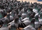 danilo-amlotti.com l'uccellino e l'immigrato-pigeons_1__800_800